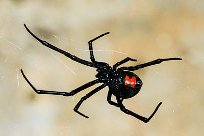 Black Widow Spider Photograph - Deadly Hourglass by David Waldo