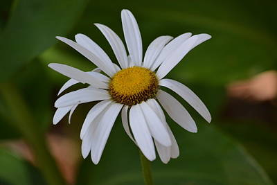 Photograph - Dear Daisy by Joe Bledsoe