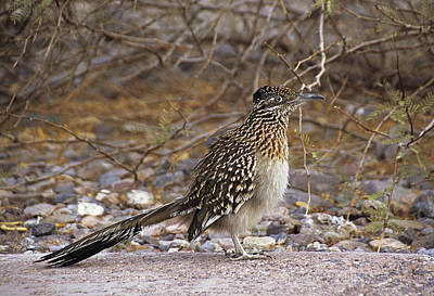 Photograph - Death Valley Roadrunner by Doug Davidson