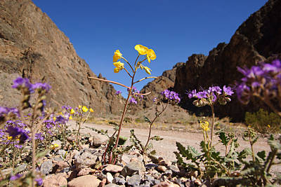 Photograph - Death Valley Superbloom 100 by Daniel Woodrum