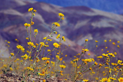 Photograph - Death Valley Superbloom 103 by Daniel Woodrum