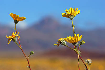 Photograph - Death Valley Superbloom 108 by Daniel Woodrum