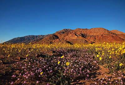 Photograph - Death Valley Superbloom 2 by Susan Rovira