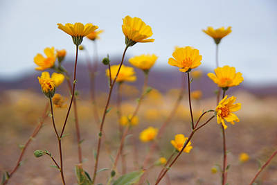 Photograph - Death Valley Superbloom 200 by Daniel Woodrum