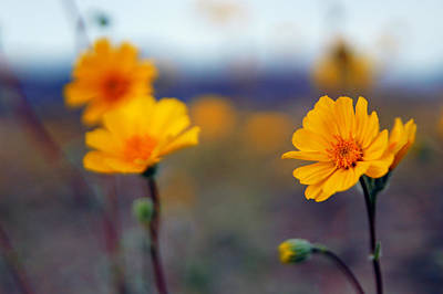 Photograph - Death Valley Superbloom 300 by Daniel Woodrum