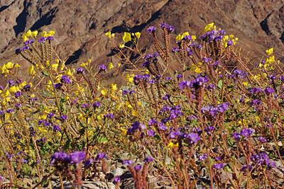 Photograph - Death Valley Superbloom 401 by Daniel Woodrum