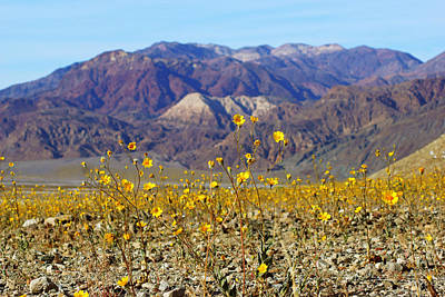 Photograph - Death Valley Superbloom 405 by Daniel Woodrum