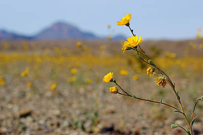 Photograph - Death Valley Superbloom 501 by Daniel Woodrum