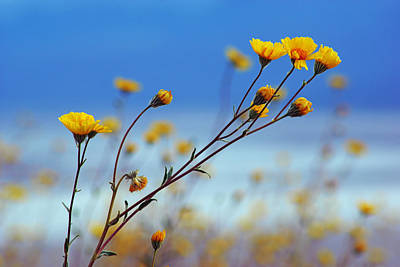 Photograph - Death Valley Superbloom 502 by Daniel Woodrum
