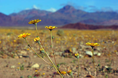 Photograph - Death Valley Superbloom 507 by Daniel Woodrum