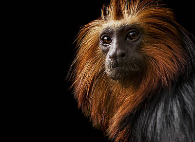 Primate Photograph - Debonair by Paul Neville