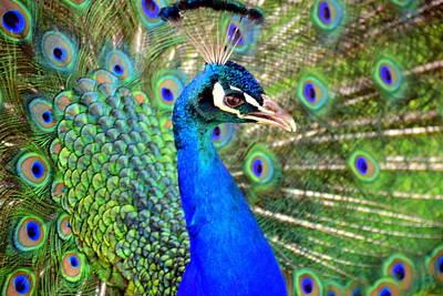 Deceived Peacock Original