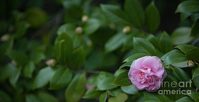 Photograph - December Blooming Camellia Flowering Plant by Dale Powell