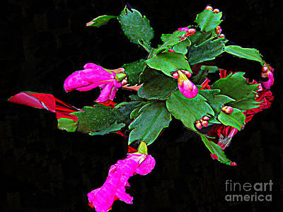 Photograph - December-blooming Christmas Cactus by Merton Allen
