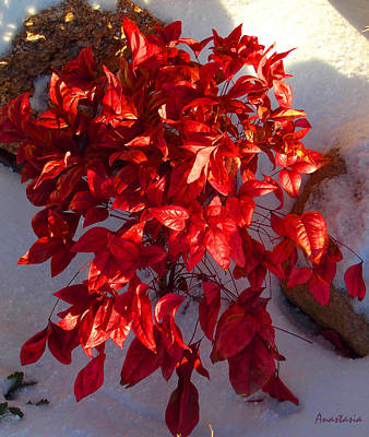 Photograph - December Burning Bush by Anastasia Savage Ealy