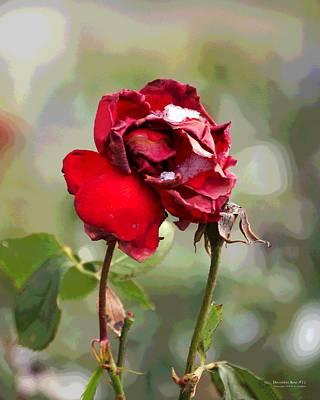 December Rose #12 Art Print
