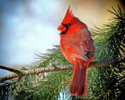 Photograph - December's Cardinal by Rodney Campbell
