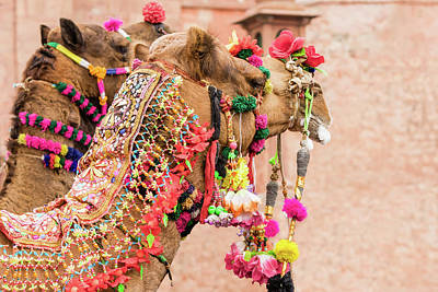 Photograph - Decorated Camels by Nila Newsom