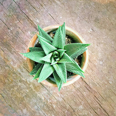 Decorative Photograph - Decorative Aloe Plant On Old Wooden Surface by GoodMood Art
