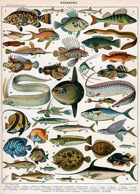 Trout Drawing - Decorative Print Of Poissons By Demoulin by American School