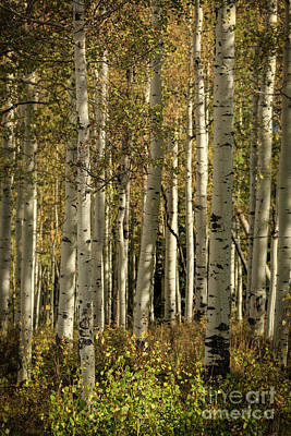 Photograph - Deep In The Aspen Forest by Doug Sturgess