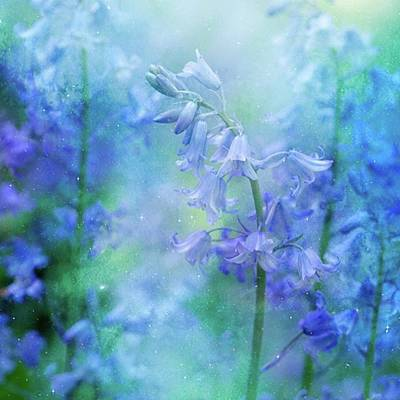 Florals Photograph - Deep In The Woods The Bluebells by Margaret Goodwin