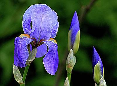 Photograph - Deep Iris Blues by Karen McKenzie McAdoo