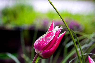 Photograph - Deep Pink Tulip - Spring - #flower by Marie Jamieson