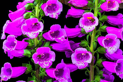 Deep Purple Foxglove Art Print by Garry Gay