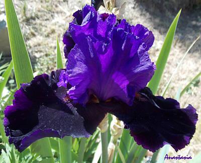 Photograph - Deep Purple Iris Agape Gardens by Anastasia Savage Ealy