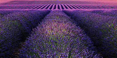 Photograph - Deep Purple by Jorge Maia