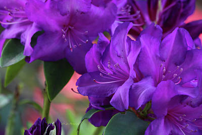 Photograph - Deep Purple Rhododendrons by Jeanette C Landstrom