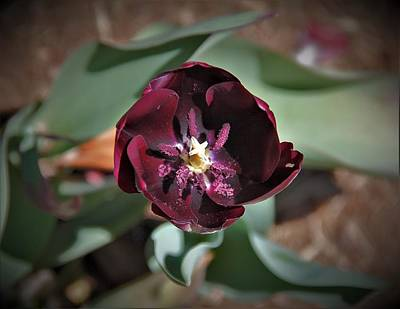 Photograph - Deep Purple Tulip by Allen Nice-Webb