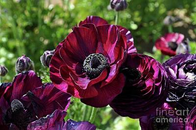 Photograph - Deep Ranunculus by Bridgette Gomes