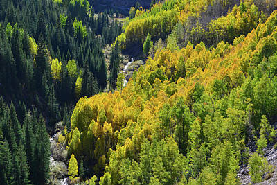 Photograph - Deep Ravine Aspens Along Highway 550 by Ray Mathis