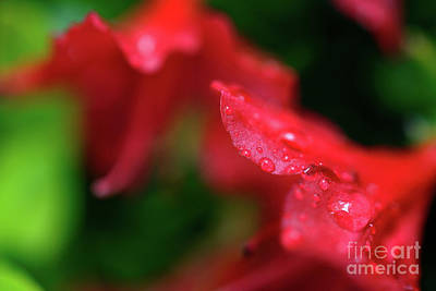 Photograph - Deep Red Azalea With Raindrops by Terry Elniski