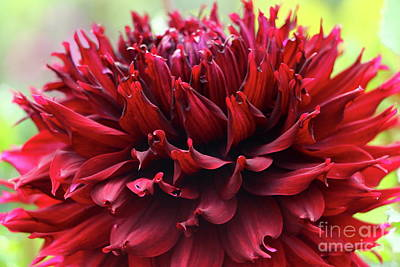 Photograph - Deep Red Dahlia by Christiane Schulze Art And Photography