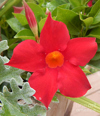 Photograph - Mandevilla Deep Red Flower by Dave Nevue
