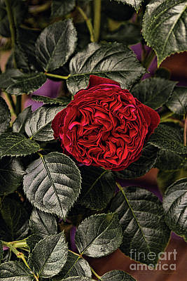 Photograph - Deep Red Rose by Elaine Teague