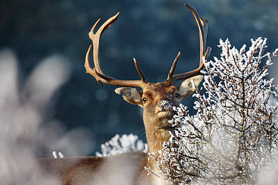 Deer And Hoar Frost Art Print by Roeselien Raimond