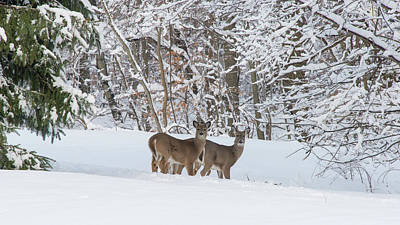 Photograph - Deer And Snow In The Park by Gary Slawsky