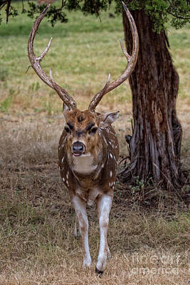 Photograph - Deer Antlers by Douglas Barnard