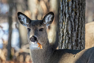 Photograph - Deer At The Salad Bar by Paul Freidlund