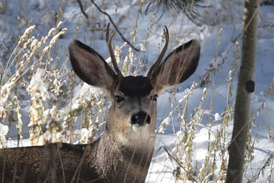 Photograph - Deer Buck by Margarethe Binkley
