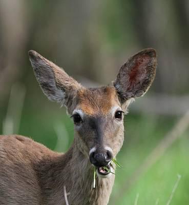 Photograph - Deer Eating Breakfast by Dan Sproul