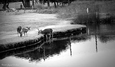 Photograph - Deer Family Feeding B And W by Joyce Dickens