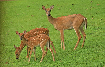 Photograph - Deer Family by Rick Friedle