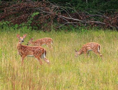 Photograph - Deer Fawn Triplets by John Burk