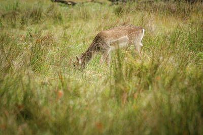 Photograph - Deer Feeding by Spikey Mouse Photography