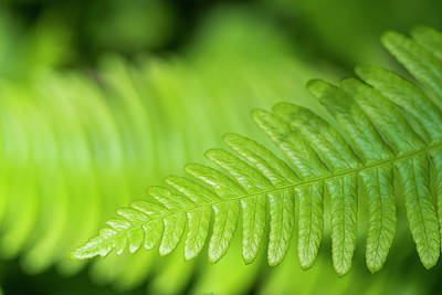 Photograph - Deer Fern Frond by Robert Potts